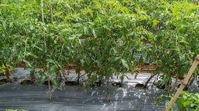 10, 2016年3月大叻- blate清淡的蕃茄在大叻Lamdong,越南 免版税图库摄影