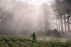 18, 2月 2017 - 农夫保护他的草莓和光芒在背景大叻Lamdong,越南中 库存图片