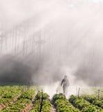 18, 2月 2017 - 农夫保护他的草莓和光芒在背景大叻Lamdong,越南中 免版税库存照片