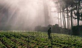18, 2月 2017 - 农夫保护他的草莓和光芒在背景大叻Lamdong,越南中 免版税库存图片