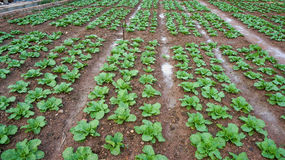 18, 2月 2017年-大白菜农场在大叻Lamdong,越南 图库摄影
