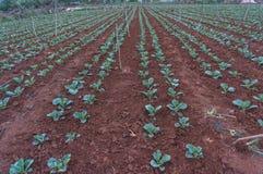 10, 2月 2017年大叻大叻农夫在DonDuong- Lamdong,越南种植圆白菜 库存图片