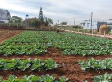 10, 2月 2017年大叻大叻农夫在DonDuong- Lamdong,越南种植圆白菜 免版税库存照片