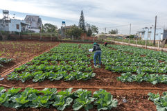 10, 2月 2017年大叻大叻农夫在DonDuong- Lamdong,越南种植圆白菜 免版税图库摄影