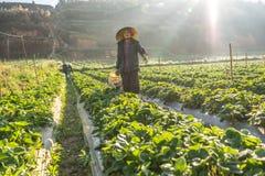 10, 2月 2017年大叻收获在他们的农场的越南女性草莓,在太阳光下,发出光线在背景 免版税库存图片
