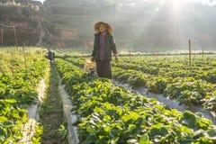 10, 2月 2017年大叻收获在他们的农场的越南女性草莓,在太阳光下,发出光线在背景 库存照片