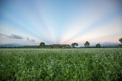 12, 2016年12月-白芥花和光芒在背景在天空在大叻潜逃东越南 免版税图库摄影