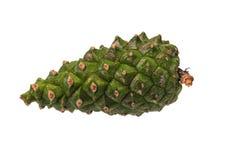 年轻,绿色杉木锥体 免版税库存照片