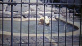 1973年:北美灰熊chillin在动物园家 dc华盛顿 股票视频