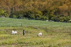 2018-01-18 :牧羊人在与他的在pai谷的母牛一起使用, 免版税库存照片
