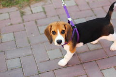 ?小猎犬 免版税库存图片