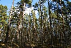 Δάσος δέντρων πεύκων Στοκ φωτογραφίες με δικαίωμα ελεύθερης χρήσης