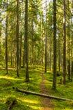 Δάσος της Virgin Στοκ φωτογραφίες με δικαίωμα ελεύθερης χρήσης