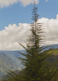 Δάσος του FIR, βουνά των Άνδεων Στοκ εικόνα με δικαίωμα ελεύθερης χρήσης