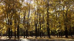 Δάσος των σφενδάμνων φθινοπώρου Στοκ φωτογραφία με δικαίωμα ελεύθερης χρήσης