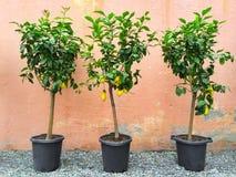 Δέντρα λεμονιών με τα ώριμα φρούτα Στοκ φωτογραφίες με δικαίωμα ελεύθερης χρήσης