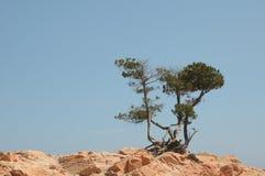 Δέντρα πεύκων στους κόκκινους βράχους Στοκ Φωτογραφία