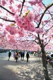 δέντρα της Στοκχόλμης κερασιών Στοκ φωτογραφία με δικαίωμα ελεύθερης χρήσης