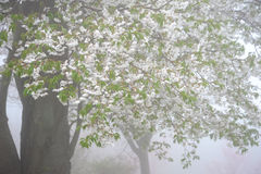 Δέντρο ανθών κερασιών Στοκ Φωτογραφία