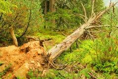 Δέντρο μετά από τη θύελλα Στοκ Εικόνες