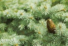 Δέντρο με τους κώνους Στοκ φωτογραφίες με δικαίωμα ελεύθερης χρήσης