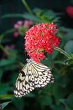 δέντρο νυμφών πεταλούδων Στοκ Φωτογραφία