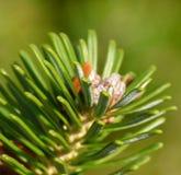 δέντρο πεύκων κλάδων Στοκ Εικόνα