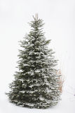 δέντρο πεύκων Στοκ Εικόνες