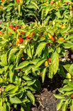 Δέντρο πιπεριών Στοκ Εικόνες