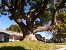 δέντρο τεράτων Στοκ Φωτογραφία