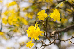 Δέντρο του χρυσού Στοκ Εικόνες