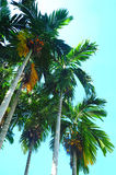 δέντρο φοινικών pinang Στοκ Φωτογραφία