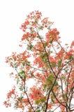 Δέντρο φλογών ή προστατευόμενο δέντρο Poinciana Στοκ εικόνα με δικαίωμα ελεύθερης χρήσης