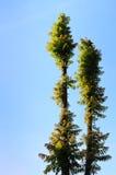 δέντρο δύο Στοκ Εικόνες