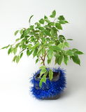δέντρο ficus Στοκ Φωτογραφία