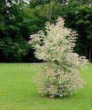 Δέντρο Ficus Στοκ εικόνες με δικαίωμα ελεύθερης χρήσης