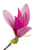 δέντρο magnolia λουλουδιών λο& Στοκ εικόνες με δικαίωμα ελεύθερης χρήσης