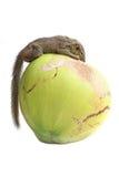 Δέντρο Shrew Στοκ φωτογραφίες με δικαίωμα ελεύθερης χρήσης