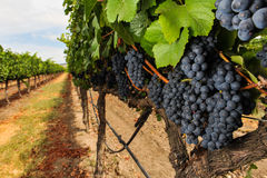 Δέσμες των σταφυλιών κρασιού που αυξάνονται στον αμπελώνα Στοκ Φωτογραφίες