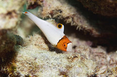 δίχρωμα parrotfish Στοκ φωτογραφία με δικαίωμα ελεύθερης χρήσης