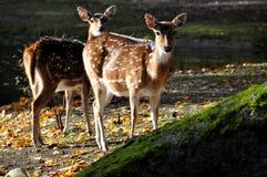 δίδυμο deers Στοκ φωτογραφία με δικαίωμα ελεύθερης χρήσης