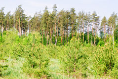 δασικά μεγάλα μικρά δέντρα πεύκων Στοκ Εικόνες