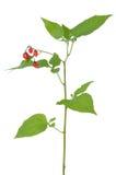 Δηλητηριώδης Solanum κλάδος dulcamara Στοκ εικόνα με δικαίωμα ελεύθερης χρήσης