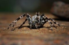 Διαγώνια αράχνη στο έδαφος Στοκ Φωτογραφία