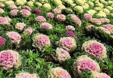 Διακοσμητική φυτεία λάχανων Στοκ Εικόνες