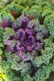Διακοσμητικό λάχανο Στοκ Εικόνα