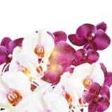 Διανυσματικές ρεαλιστικές ορχιδέες Phalaenopsis που απομονώνονται στο λευκό Στοκ Εικόνα