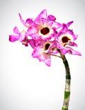 Διανυσματική εικόνα του λουλουδιού ορχιδεών Στοκ Φωτογραφίες