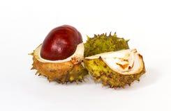 Διασπασμένος ανοικτός σαλιασμάτων Chesnut Στοκ Εικόνα