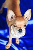 διασταυρώστε το σκυλί τ& Στοκ Εικόνα